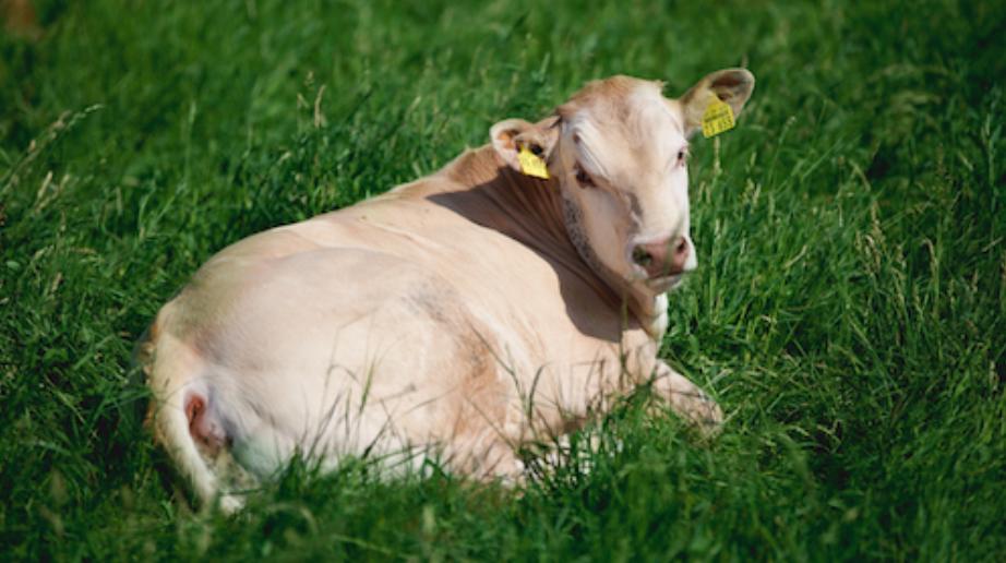 Kuh auf Weide liegend