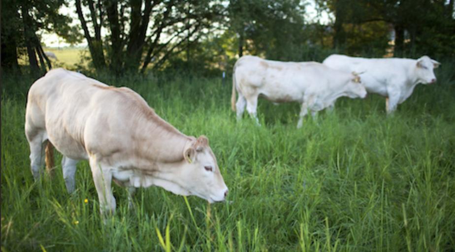 Kuh auf Weide fressend