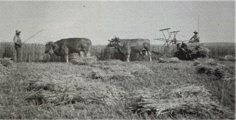 Rinder auf der Weide - Schwarz-Weiß Bild