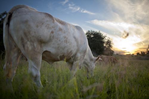 Rinder auf der Weide am fressen